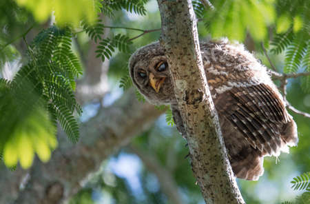 Barred Owl in Southern Florida Stock Photo