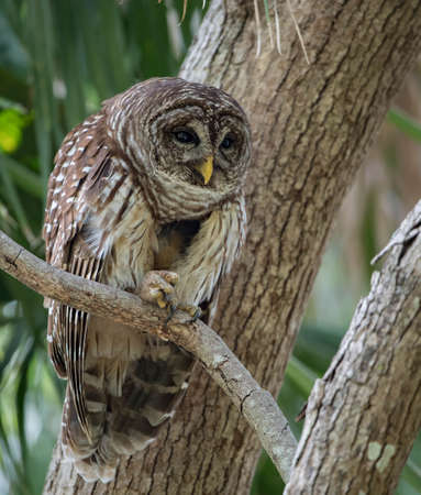Barred owl in Florida