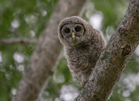 Barred owlet in Florida Stock Photo