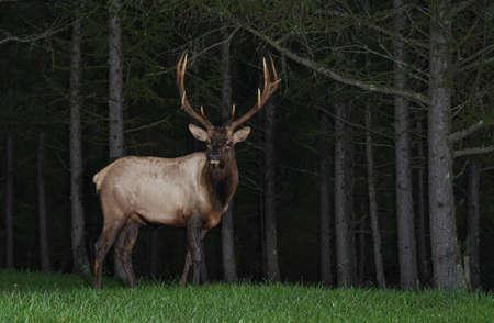 Wild Bull Elk Фото со стока - 121650208