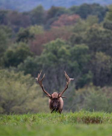 Bull Elk in Pennsylvania Imagens