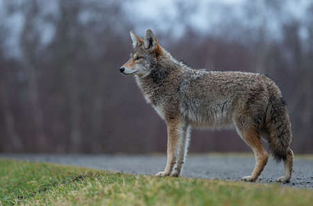 A coyote in British Columbia Canada