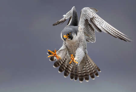 Peregrine Falcon in Flight 스톡 콘텐츠