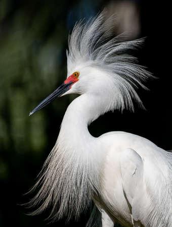 Snowy Egret in Florida 写真素材