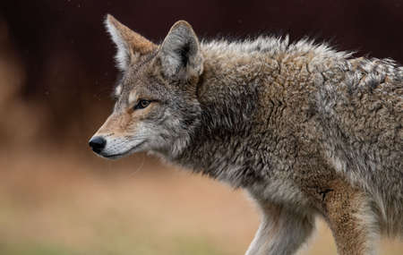 Kojote in Kanada