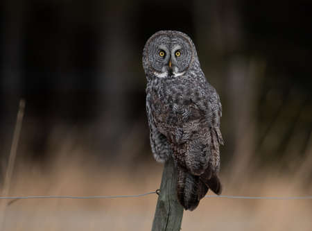 A Great Gray Owl in Alberta
