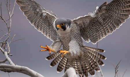 A male peregrine falcon that lives in the cliffs high above the Hudson River between New Jersey and New York.