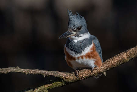 Belted Kingfisher in Pennsylvania
