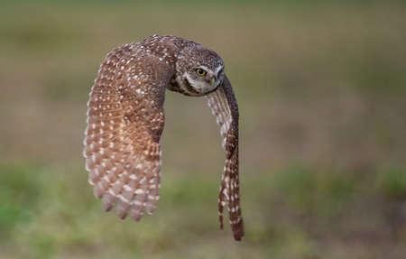 Burrowing Owl in Southern Florida Фото со стока