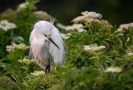 Snowy Egret in Florida Фото со стока