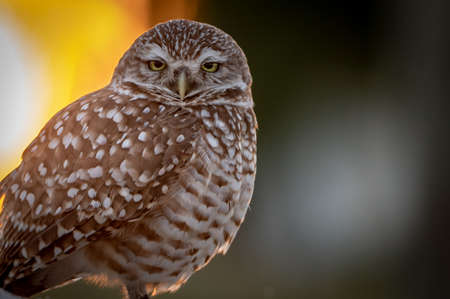 Burrowing Owl in Florida Фото со стока
