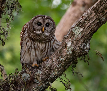 Barred Owl in Central Florida