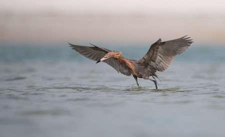 Reddish Egret in Southern Florida Фото со стока