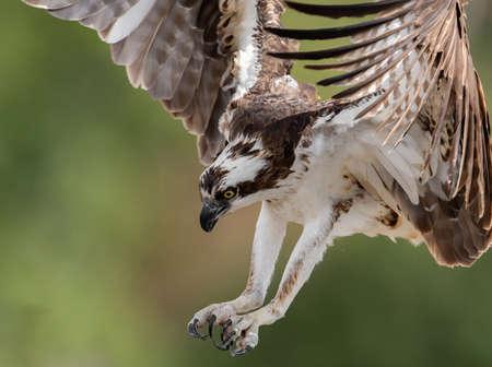 Osprey in Central Florida