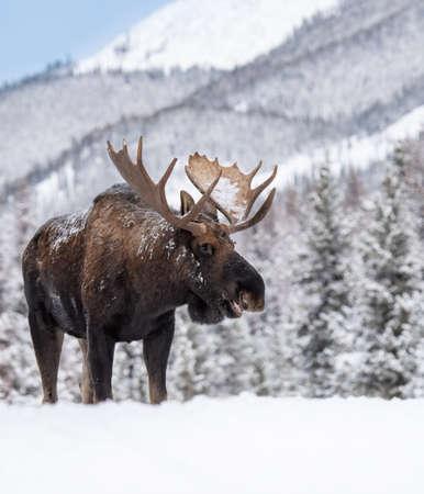 A moose in snow in Jasper, Canada