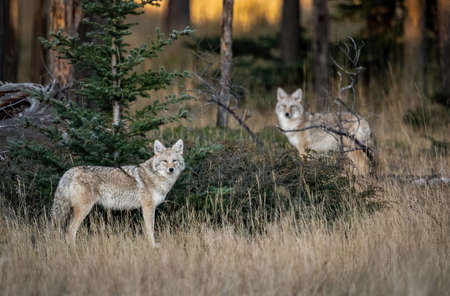 A Coyote in British Columbia Canada Stock Photo
