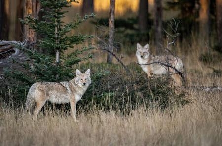 A Coyote in British Columbia Canada Фото со стока