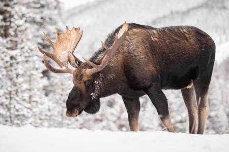 Moose in Snow in Jasper Canada