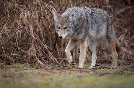 A Coyote in British Columbia Canada Stock Photo