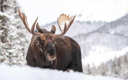 A moose in snow in Jasper Canada Фото со стока