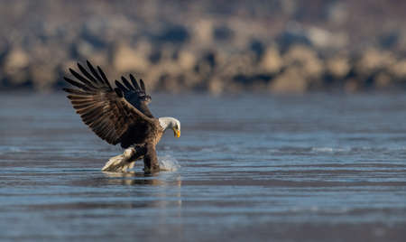 A bald eagle fishing in Maryland