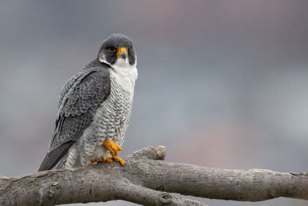 A peregrine falcon in New Jersey
