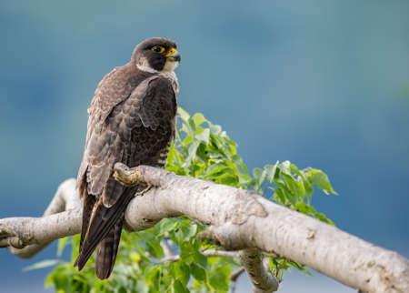 A portrait of a Peregrine Falcon