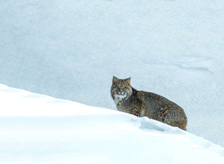 A bobcat in New Hampshire