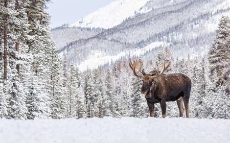 A moose in snow in Jasper National Park, Canada Фото со стока