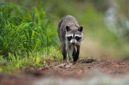 A raccoon in Swamp