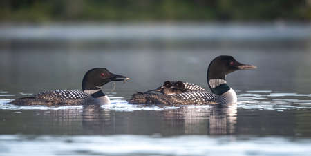 Common loon in Acadia National Park, Maine