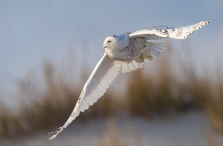A snowy owl at the beach in New Jersey