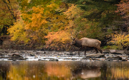 A bull elk during the rut in Autumn Standard-Bild