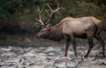 Bull elk during the rut in Autumn