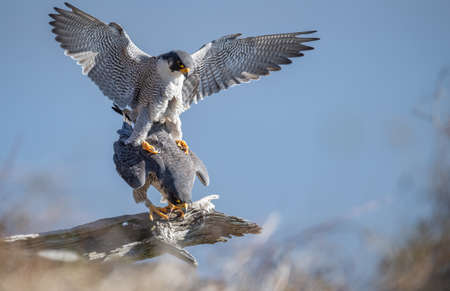 Peregrine falcon in northern New Jersey