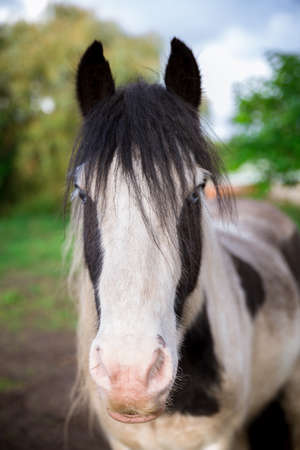 A wide angle portrait of a white and black horse in the Suffolk countryside Banco de Imagens