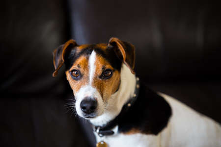 Portrait of a brownwhiteblack Jack Russell. He is looking straight at the camera
