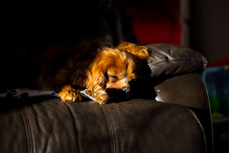 Portrait of a King Charles spaniel. He is alseep on a chair in the sun light with the sun shining brightly on his face