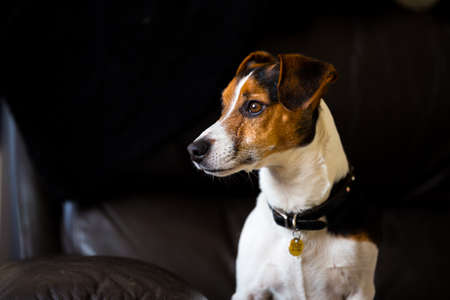 Portrait of a brownwhiteblack Jack Russell. He is looking off camera to the left with bright window light lighting his face Stock Photo