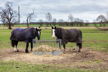 2 horses in a field grazing off hay in the Suffolk countryside. They are looking at the camera and wearing coats to keep them warm
