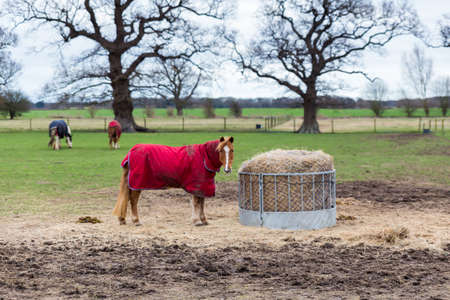 A solo horse standing in a field grazing off hay in the Suffolk countryside. It is looking straight at the camera and wearing a red coat to stay warm