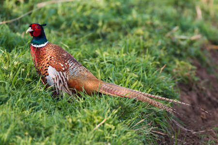 A wild Pheasant found in the Suffolk countryside