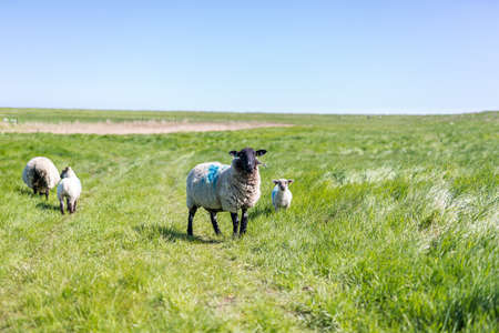 A mother sheep and its baby lamb, they are left to graze and explore naturally. Live stock grazing in Orford, Suffolk