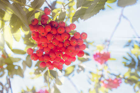 european rowan: The berries of mountain ash and sunlight on a blue background blurred
