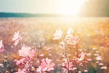 野生のマローと夏の風景。日光の下で草原を開花。 写真素材 - 94074269
