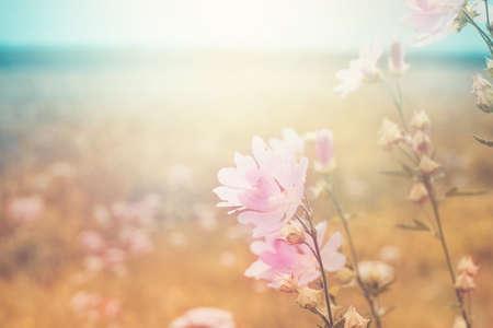 Zomer landschap met wilde kaasjeskruid. Bloeiende weide in het zonlicht.