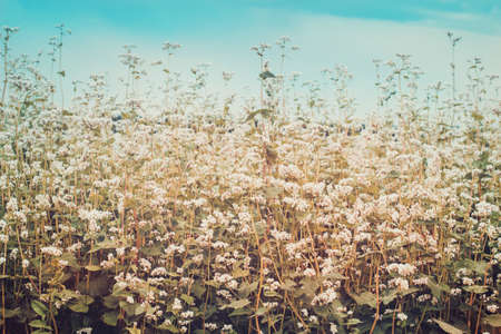 Field of blossoming buckwheat. Ripening Harvest Toned.