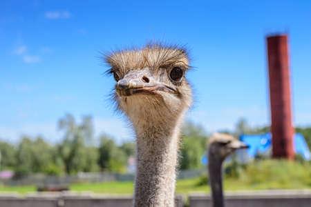 Portret van een Afrikaanse struisvogelclose-up op hemelachtergrond. Stockfoto