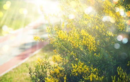 Midsummer gold background with yellow flowers bush, rays of sun and bokeh.