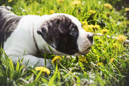 lying Puppy american bulldog for a walk in the park